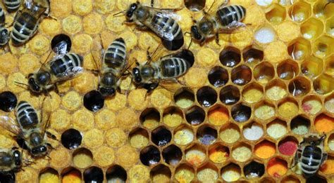 Intro Into Bee Pollen - What's All the Buzz About? - Intro